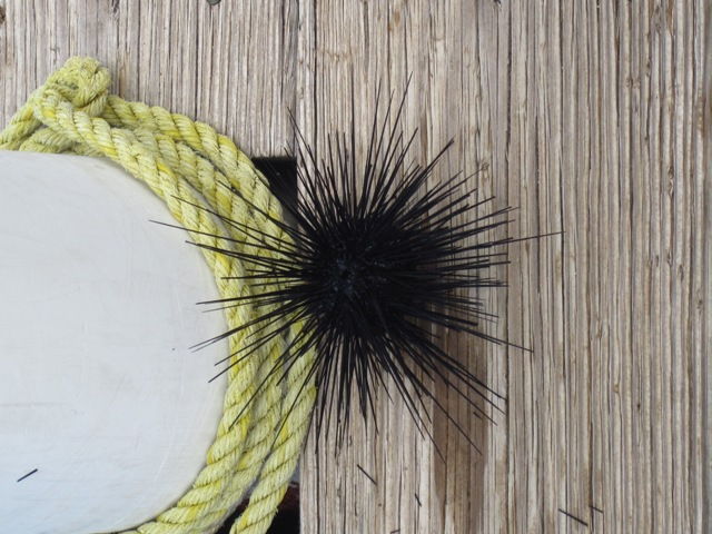 Nick_A Sea urchin we found at the dock