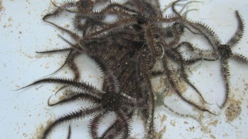 Mass of brittle stars