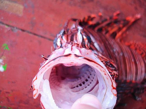 Mouth Open Lionfish (640x480)
