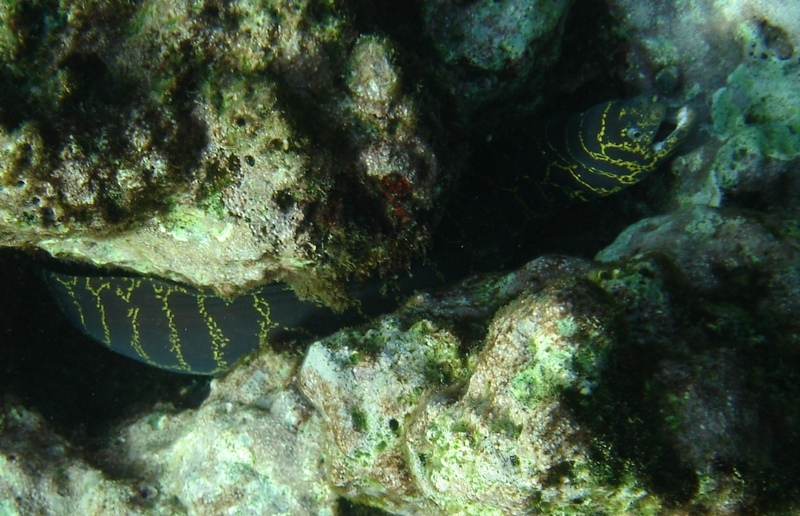 Chain_moray_eel